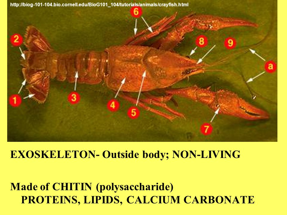 EXOSKELETON- Outside body; NON-LIVING