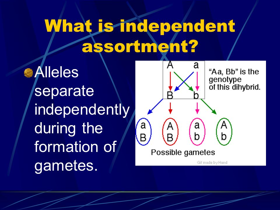 What is independent assortment