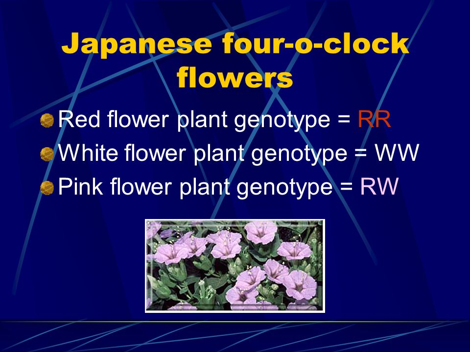 Japanese four-o-clock flowers