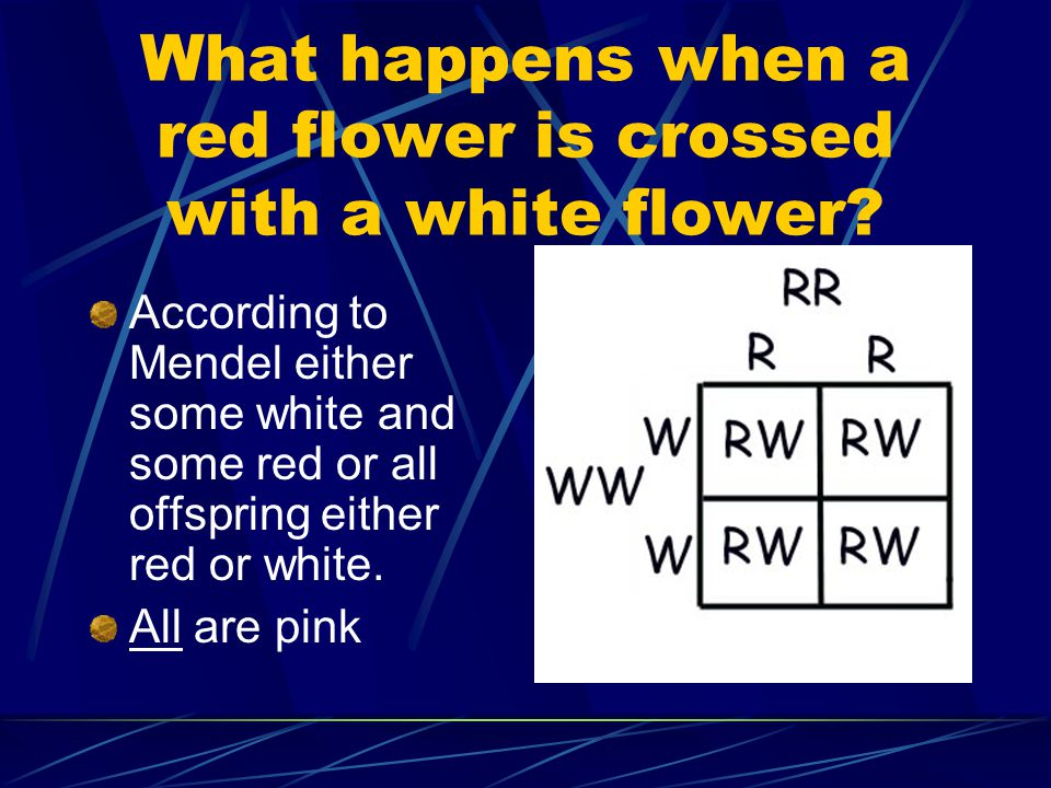 What happens when a red flower is crossed with a white flower