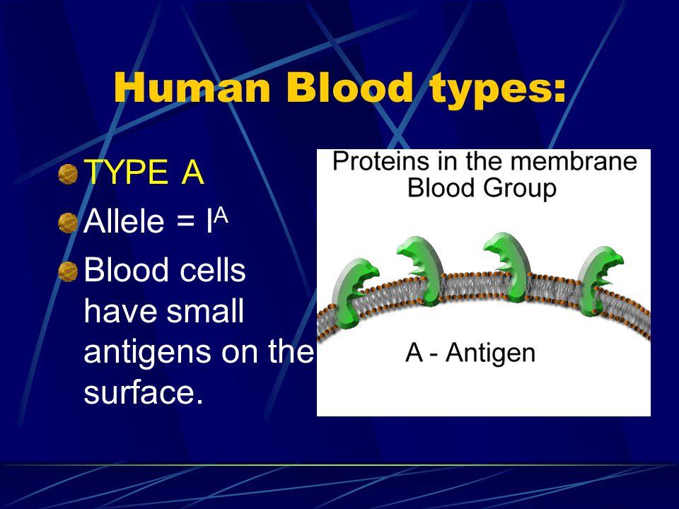 Human Blood types: TYPE A Allele = IA