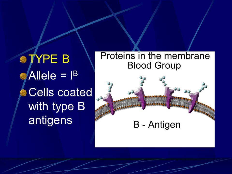 TYPE B Allele = IB Cells coated with type B antigens
