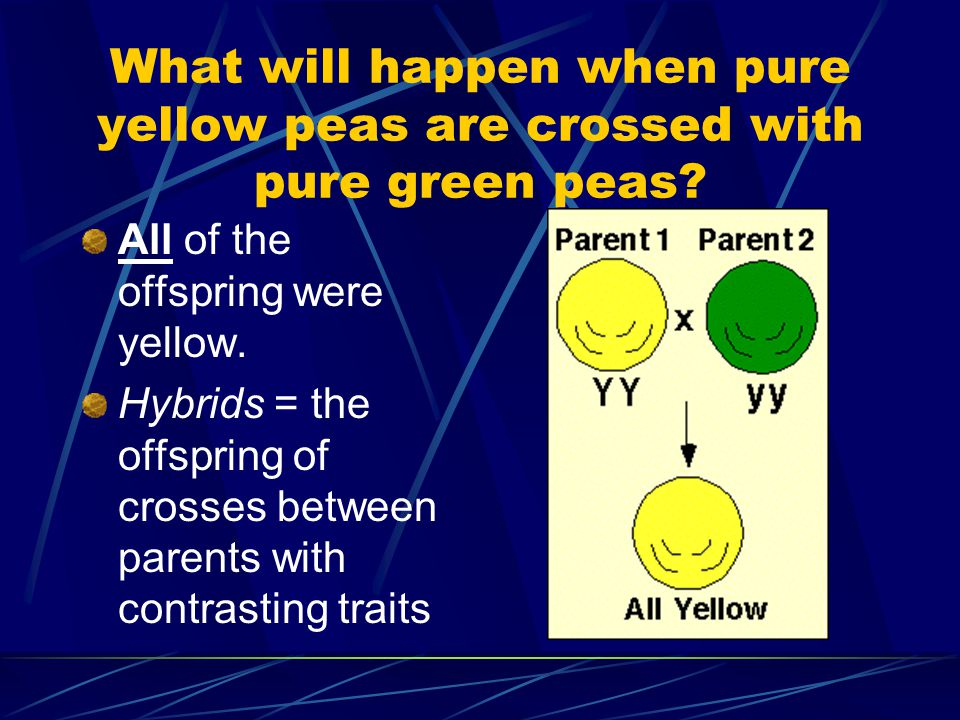 What will happen when pure yellow peas are crossed with pure green peas