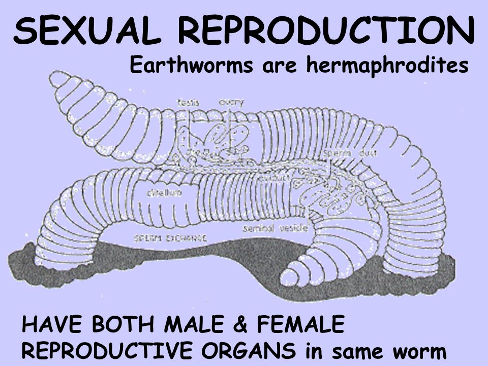 SEXUAL REPRODUCTION Earthworms are hermaphrodites