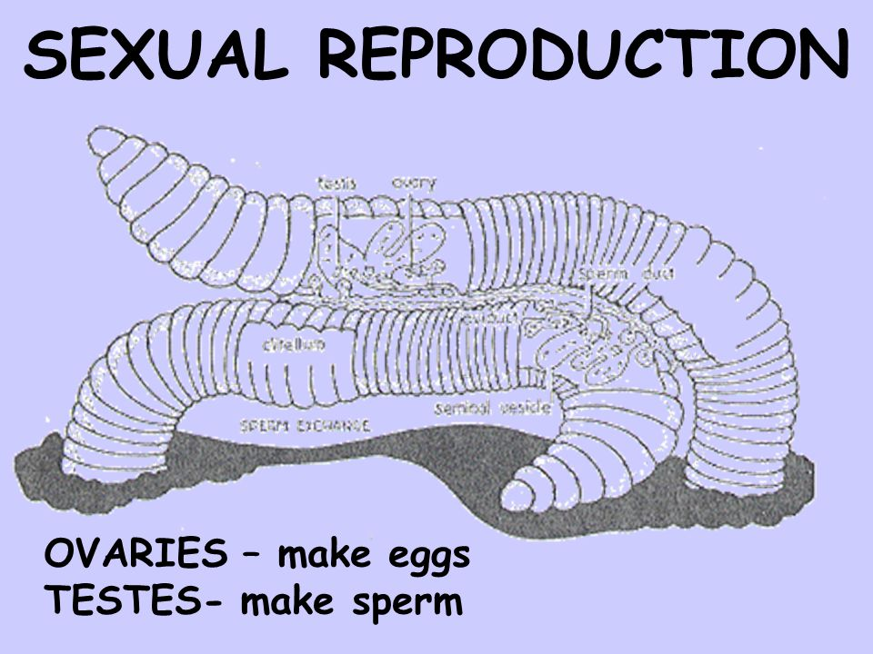 SEXUAL REPRODUCTION OVARIES – make eggs TESTES- make sperm
