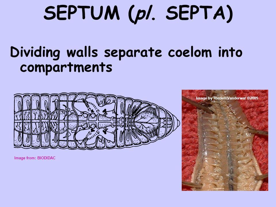 SEPTUM (pl. SEPTA) Dividing walls separate coelom into compartments