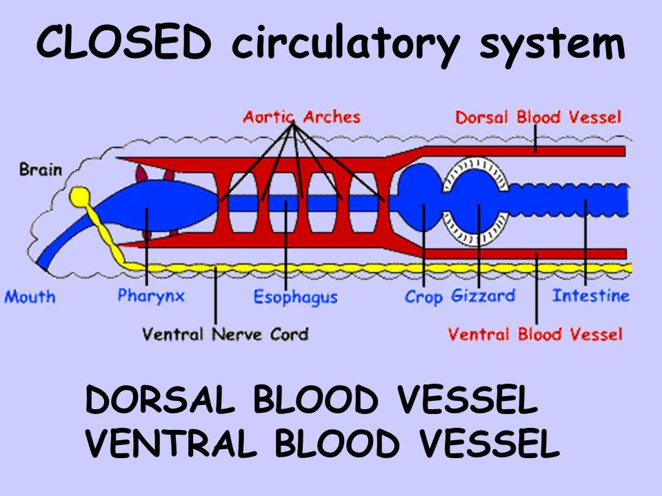 CLOSED circulatory system