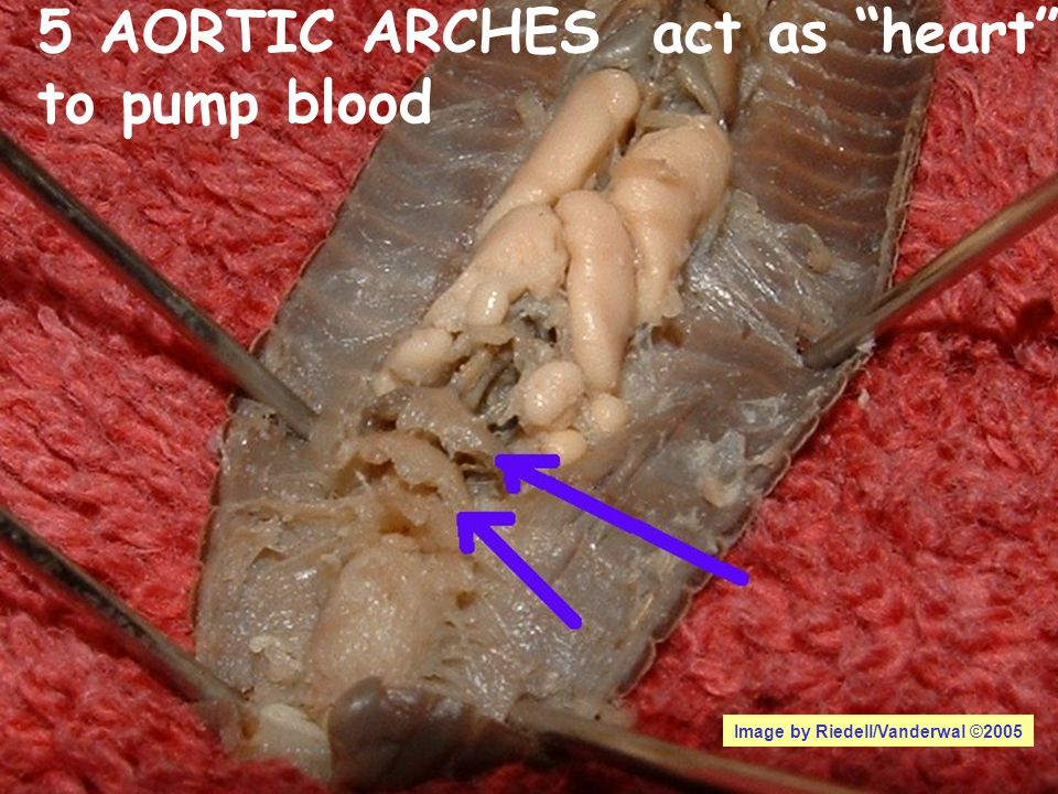 5 AORTIC ARCHES act as heart to pump blood