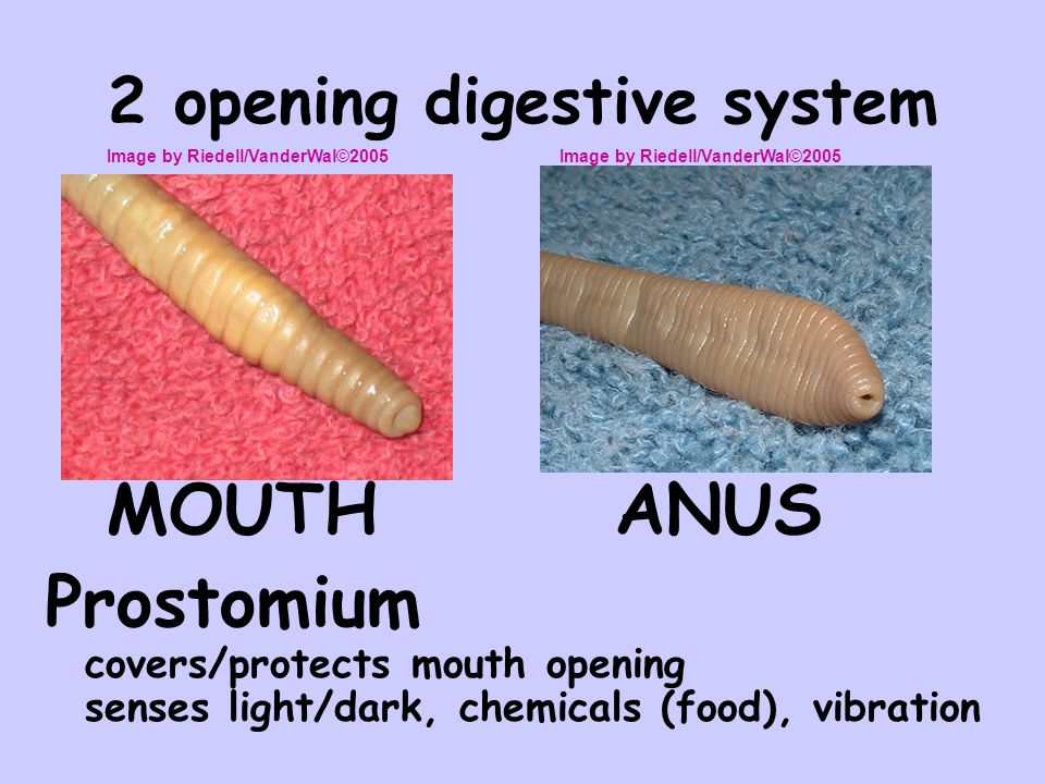 2 opening digestive system
