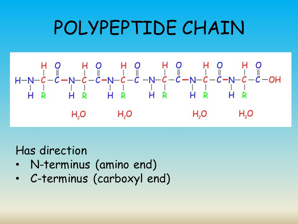 POLYPEPTIDE CHAIN Has direction N-terminus (amino end)