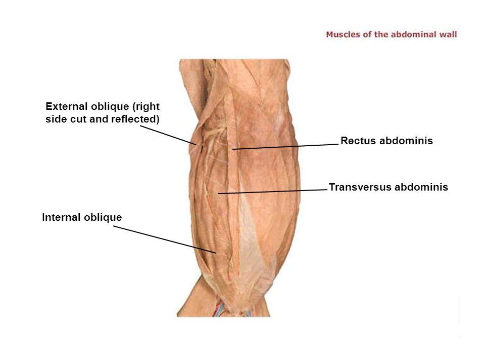 Charmant Oblique Muscles Bilder - Anatomie Ideen - finotti.info