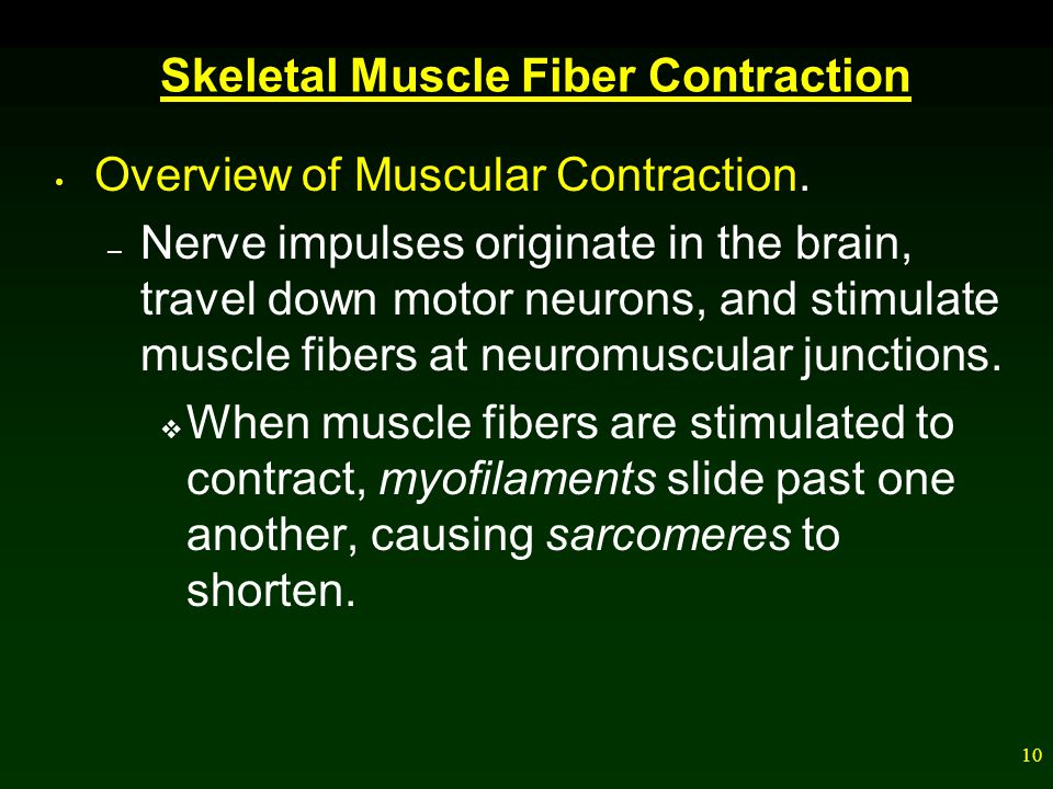 Skeletal Muscle Fiber Contraction