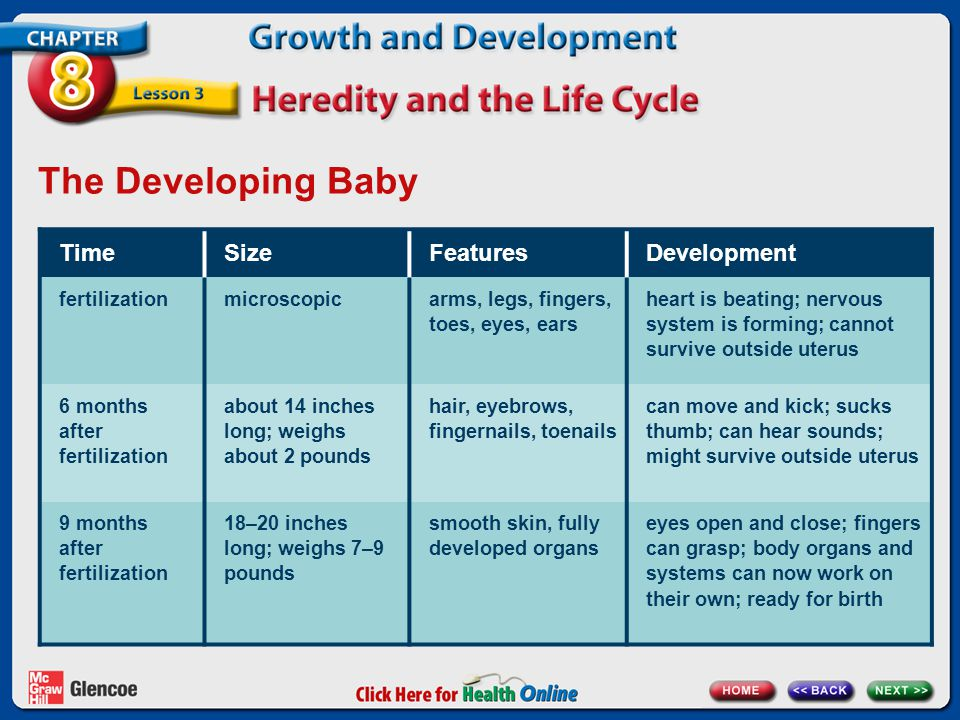 The Developing Baby Time Size Features Development fertilization