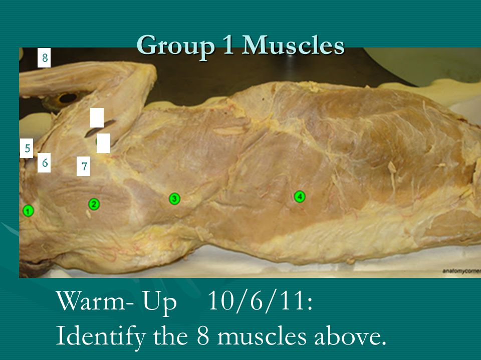 Identify the 8 muscles above.