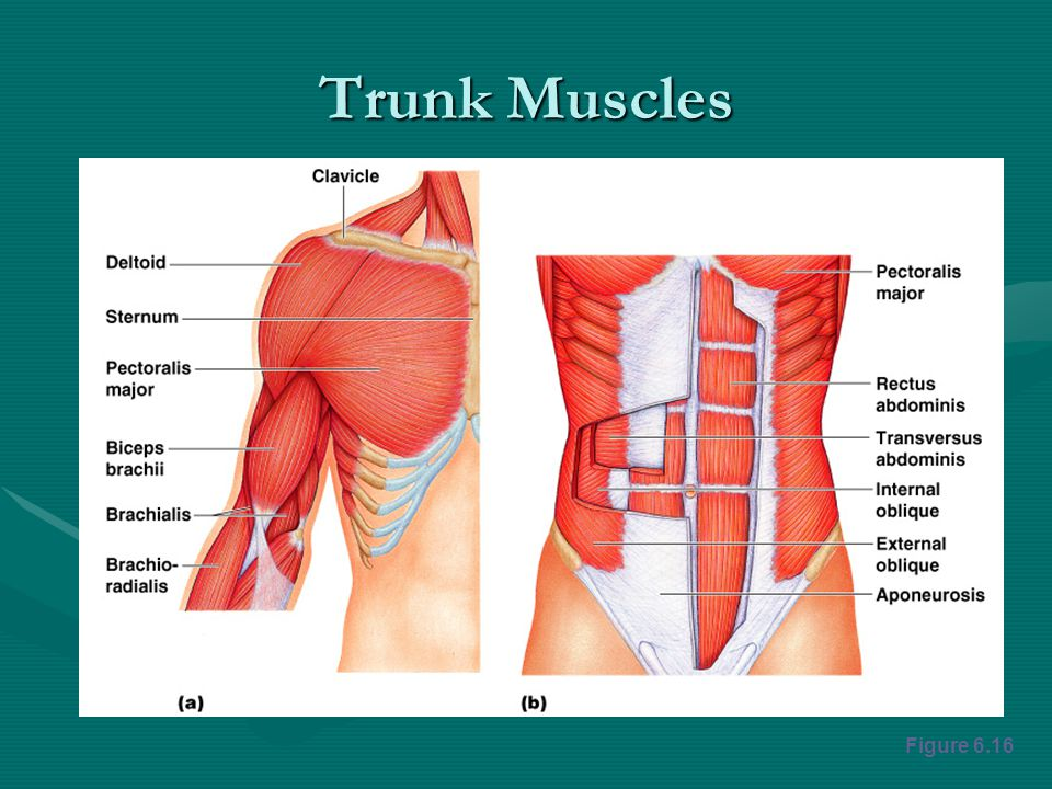 Trunk Muscles Figure 6.16