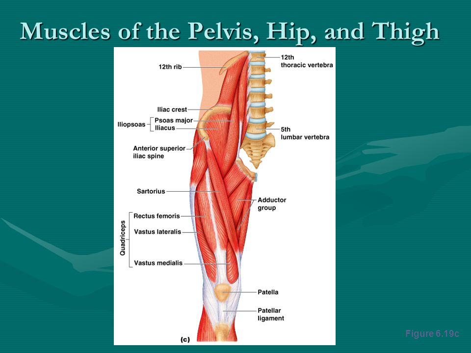 Muscles of the Pelvis, Hip, and Thigh