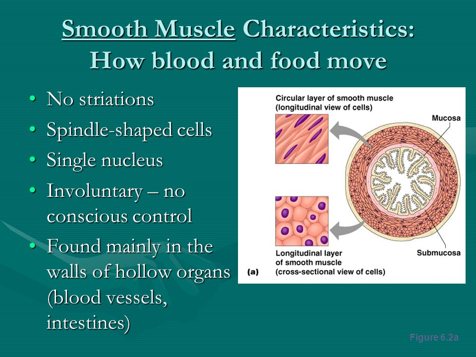 Smooth Muscle Characteristics: How blood and food move