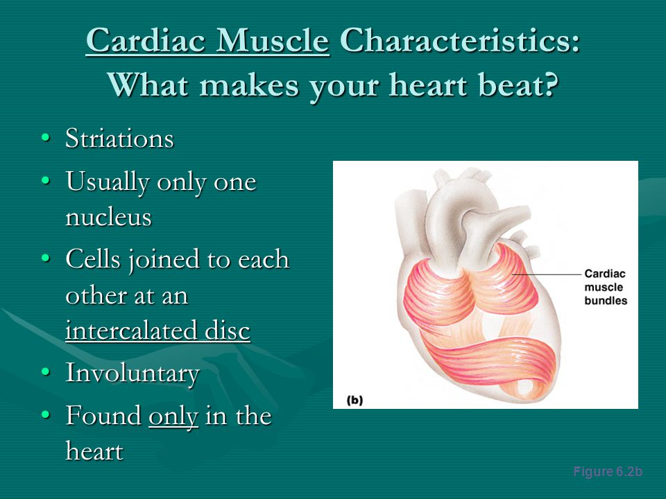 Cardiac Muscle Characteristics: What makes your heart beat