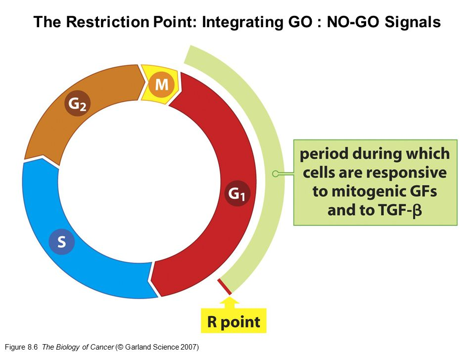 The Restriction Point: Integrating GO : NO-GO Signals
