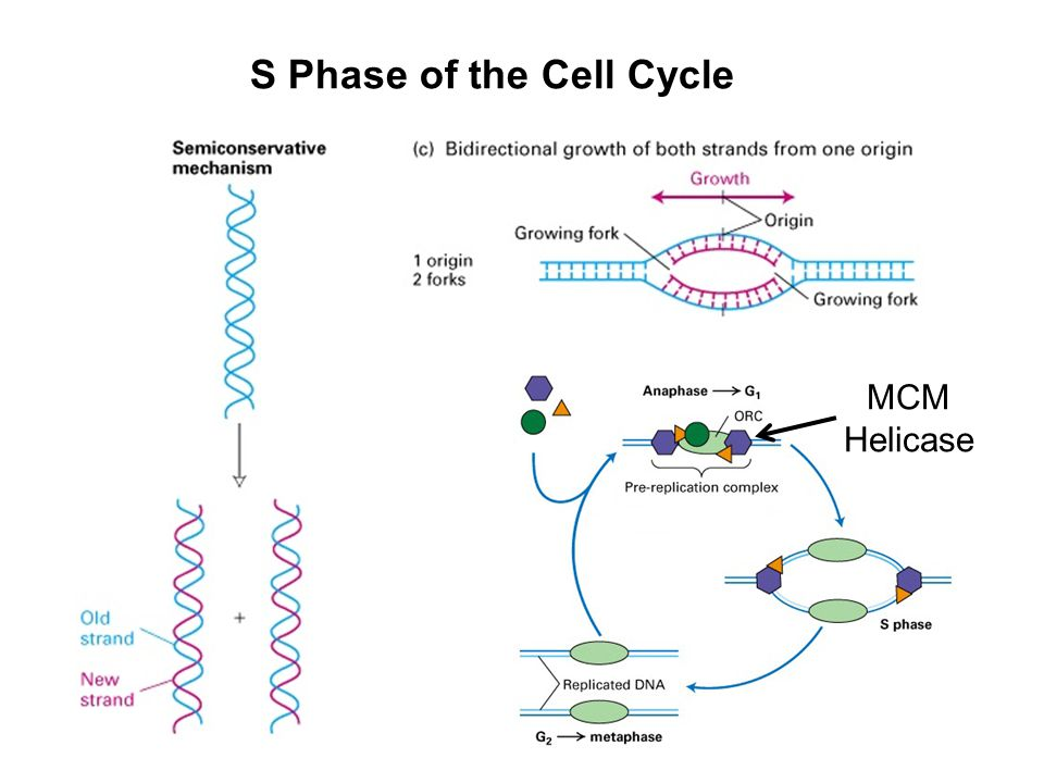 S Phase of the Cell Cycle
