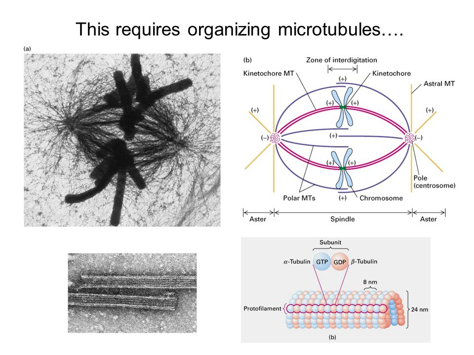 This requires organizing microtubules….