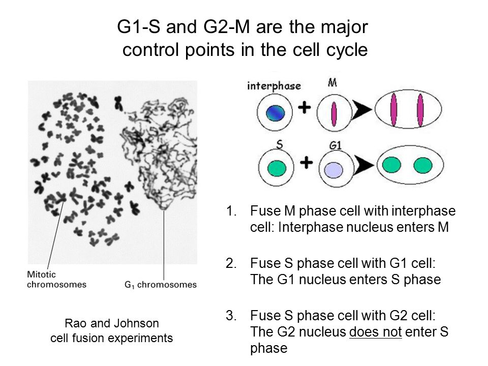 G1-S and G2-M are the major control points in the cell cycle