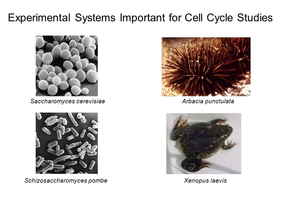 Experimental Systems Important for Cell Cycle Studies