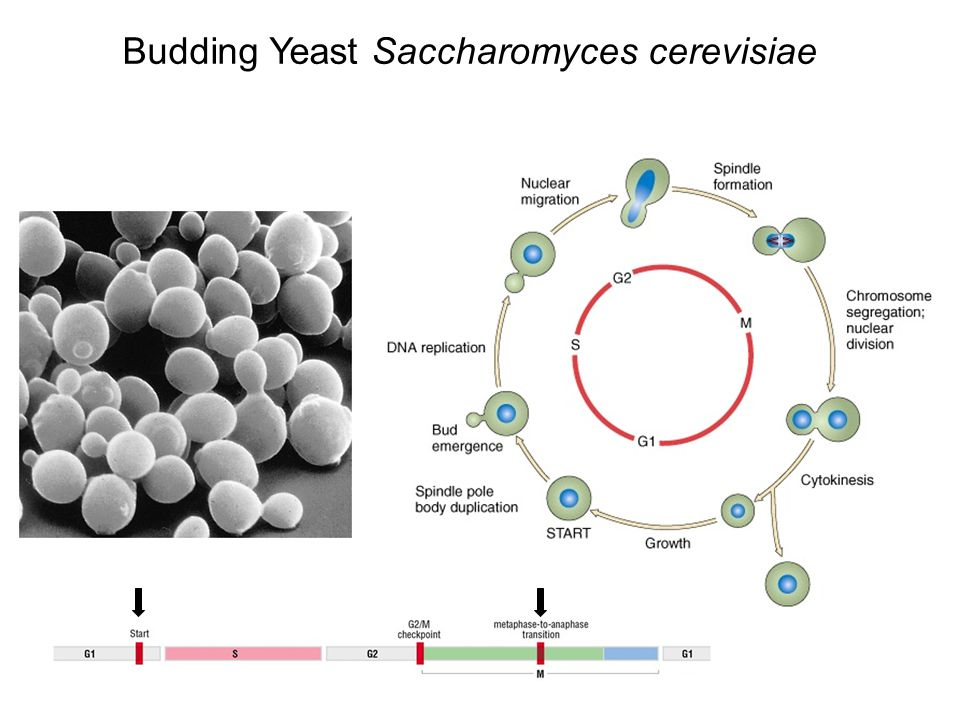 experimental evolution of saccharomyces cerevisiae and Saccharomyces cerevisiae is a prime model for molecular evolution studies genome- and gene duplications are important drivers of evolution • genome- and gene duplications occur in natural and experimental evolution settings.