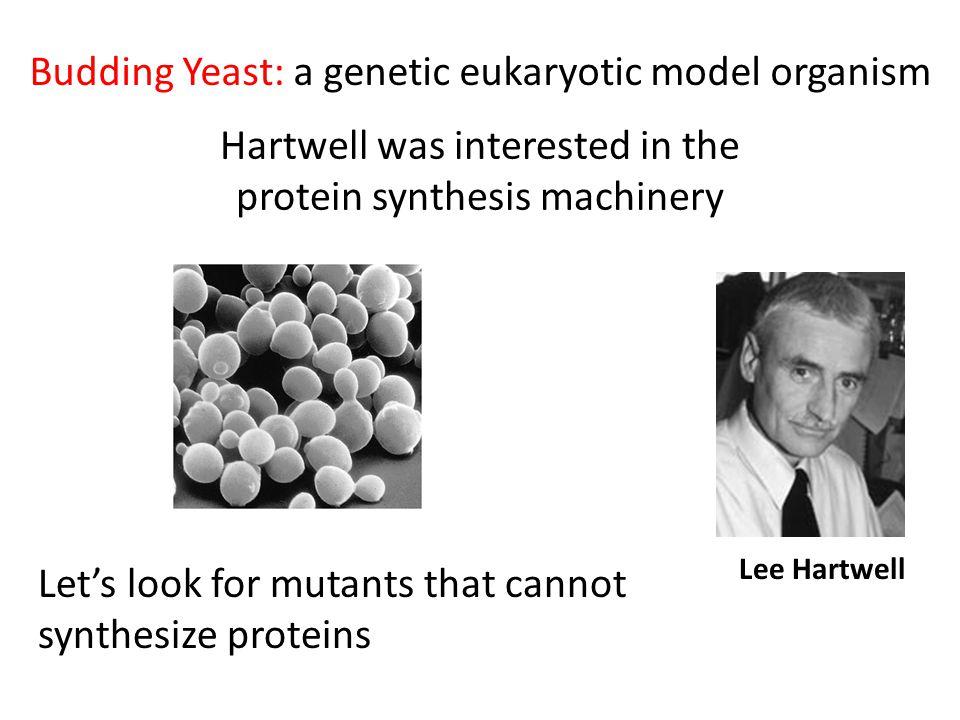 Budding Yeast: a genetic eukaryotic model organism