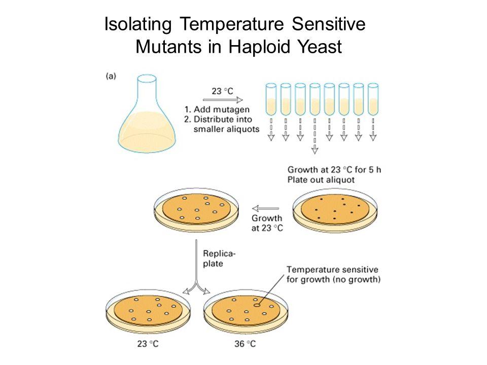 Isolating Temperature Sensitive Mutants in Haploid Yeast
