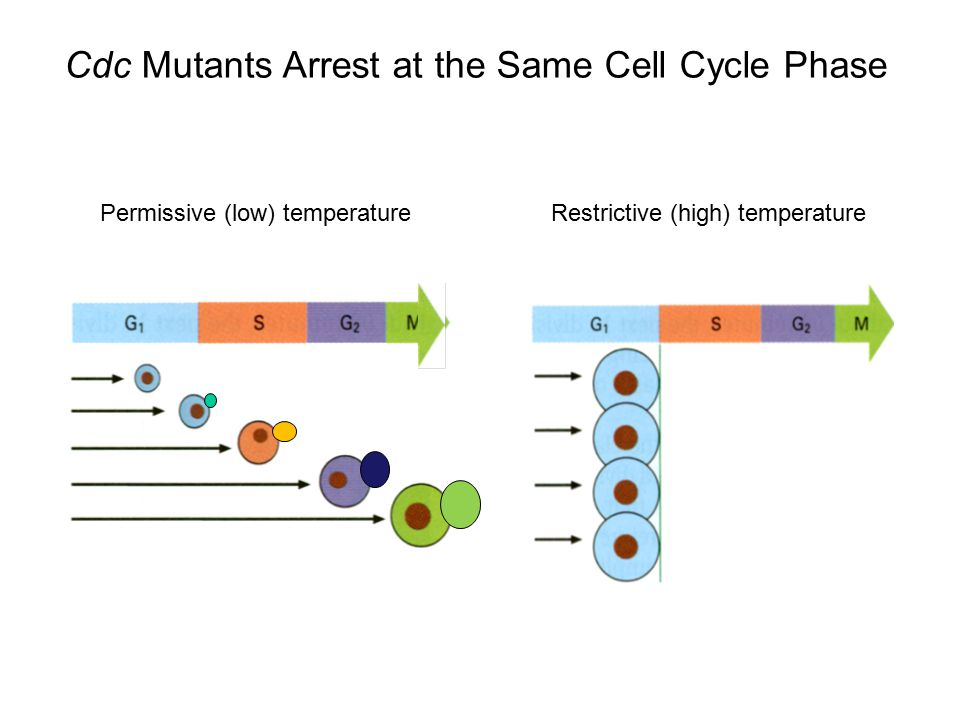 Cdc Mutants Arrest at the Same Cell Cycle Phase
