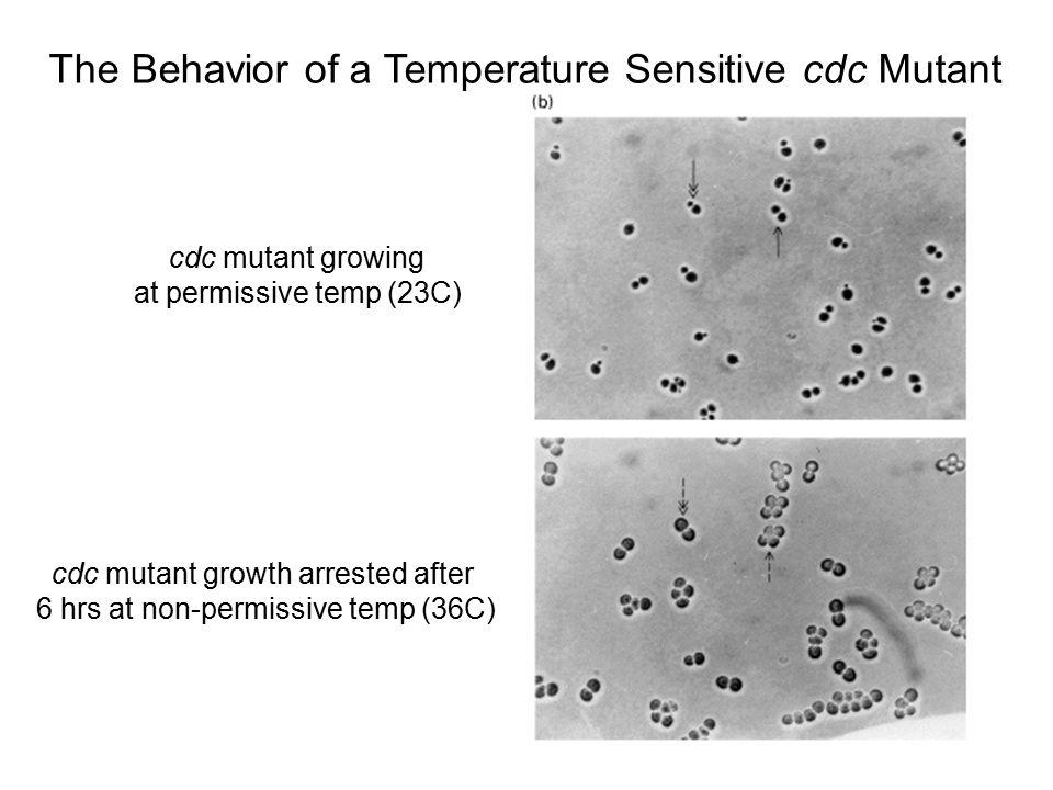The Behavior of a Temperature Sensitive cdc Mutant
