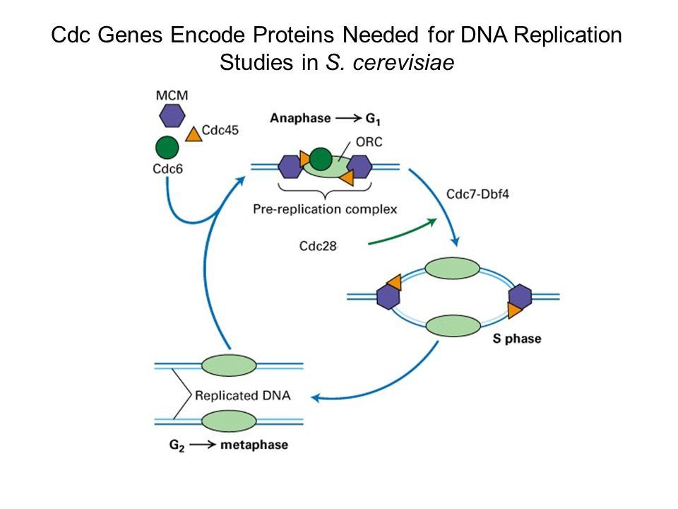 Cdc Genes Encode Proteins Needed for DNA Replication