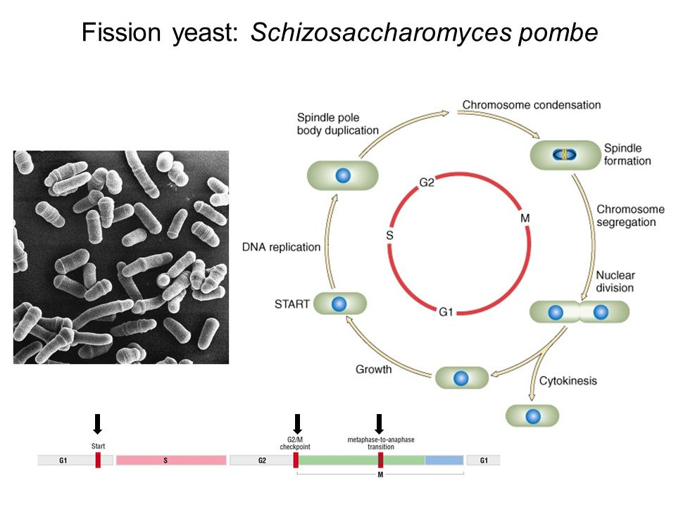 Fission yeast: Schizosaccharomyces pombe
