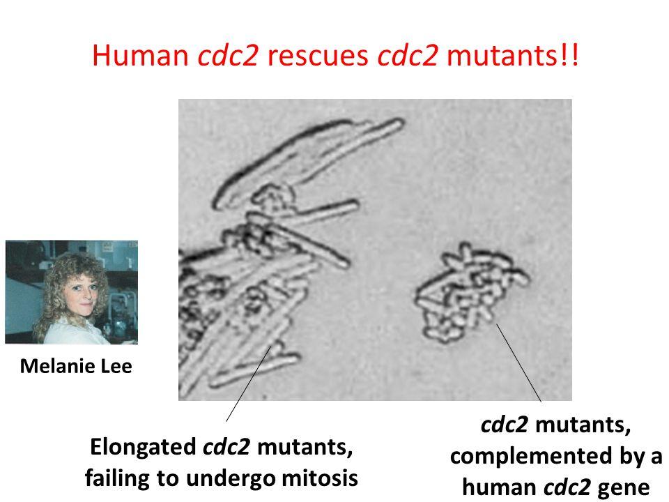 Human cdc2 rescues cdc2 mutants!!