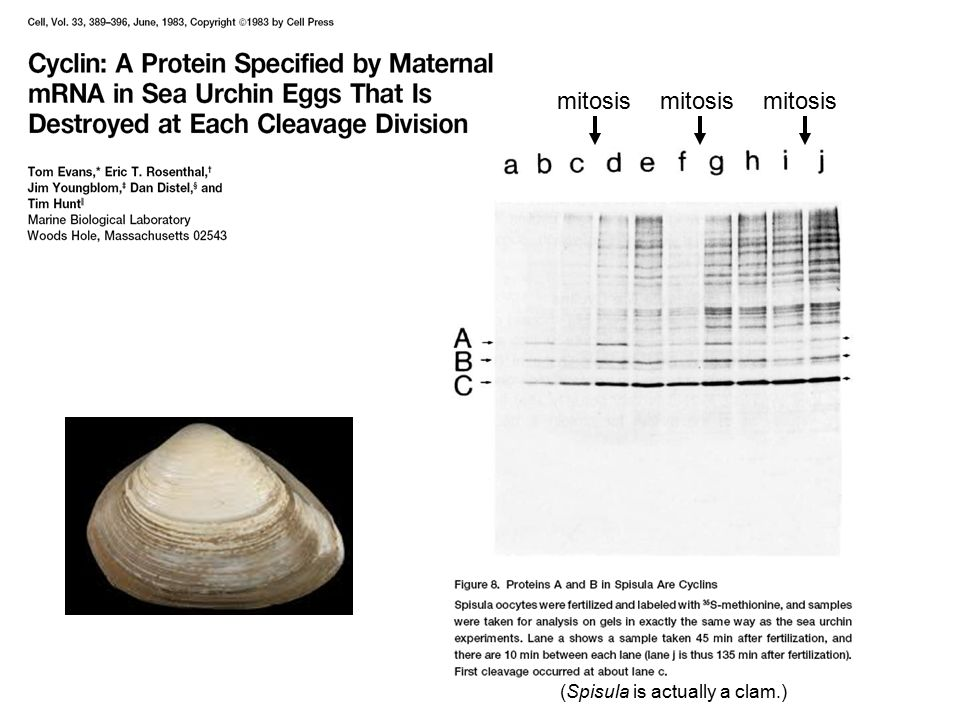(Spisula is actually a clam.)