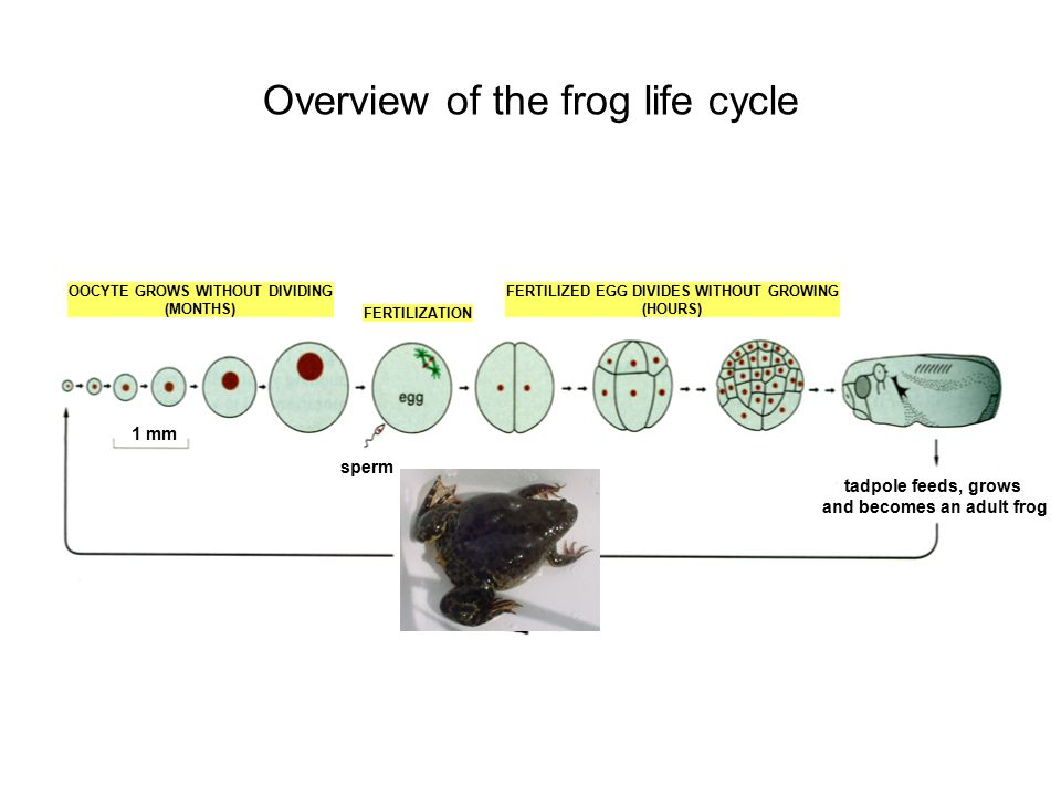 Overview of the frog life cycle
