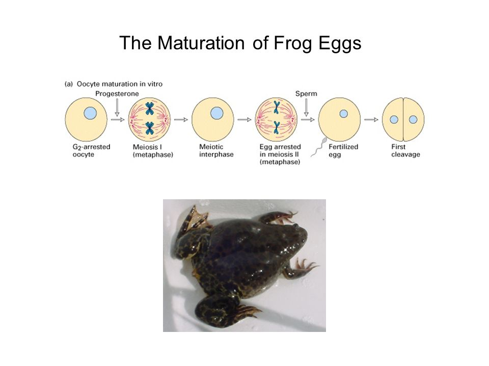 The Maturation of Frog Eggs