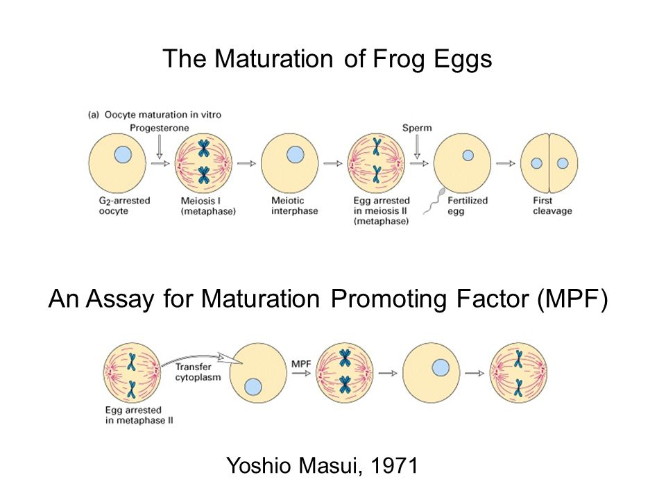 MATURATION PROMOTING FACTOR