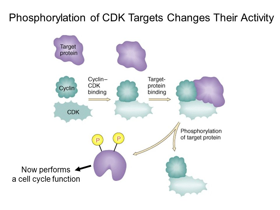 Phosphorylation of CDK Targets Changes Their Activity