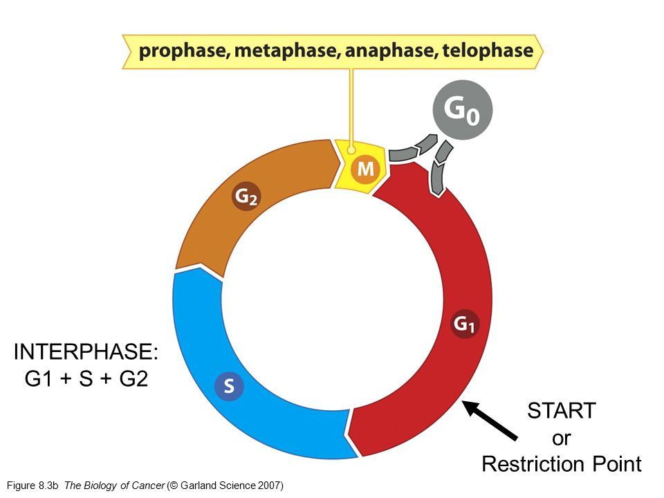 INTERPHASE: G1 + S + G2 START or Restriction Point