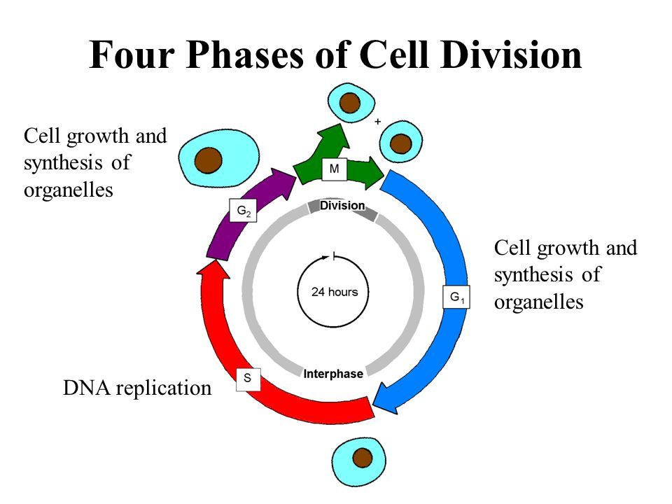 Four Phases of Cell Division