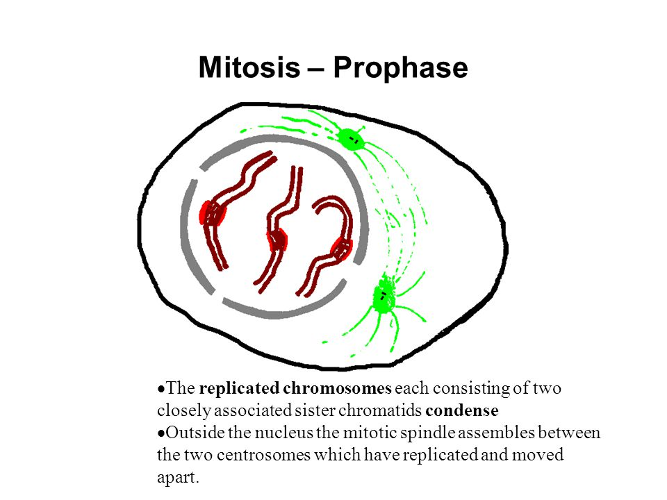 Mitosis – Prophase The replicated chromosomes each consisting of two closely associated sister chromatids condense.