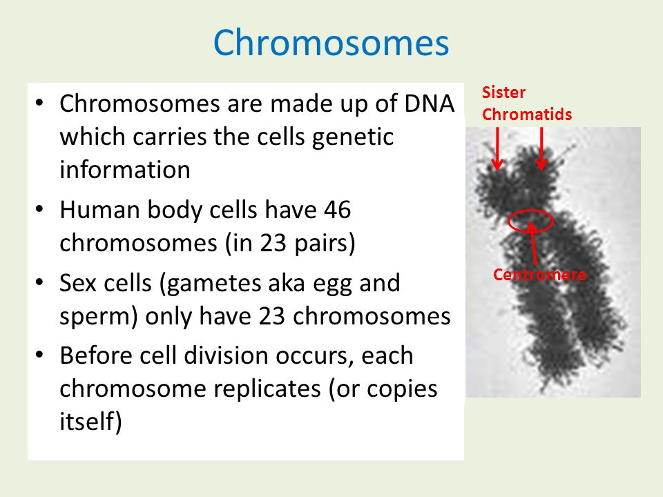 Chromosomes Sister Chromatids. Chromosomes are made up of DNA which carries the cells genetic information.