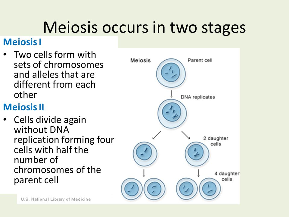 Meiosis occurs in two stages