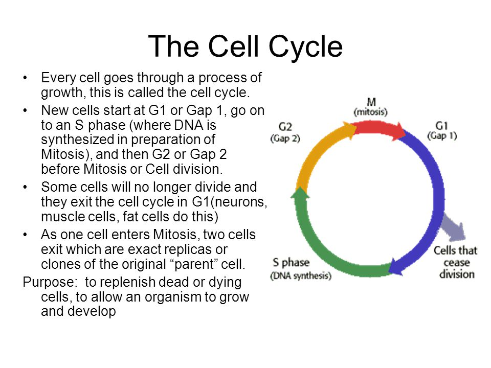 in what phase of mitosis is there sythesis and growth This sequence of activities exhibited by cells is called the cell cycle gap 1 (g1), s (synthesis) phase mitosis or m phase: cell growth and protein.