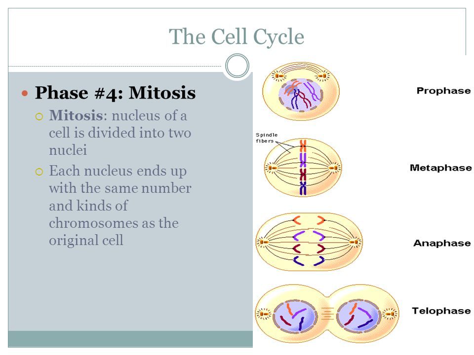 The Cell Cycle Phase #4: Mitosis