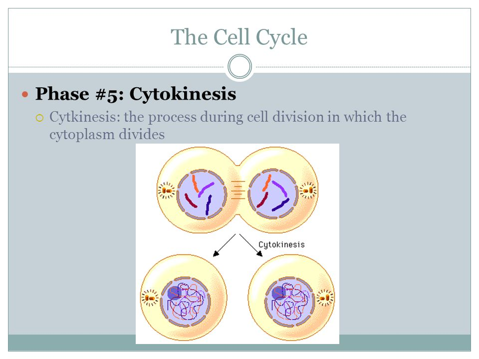 The Cell Cycle Phase #5: Cytokinesis