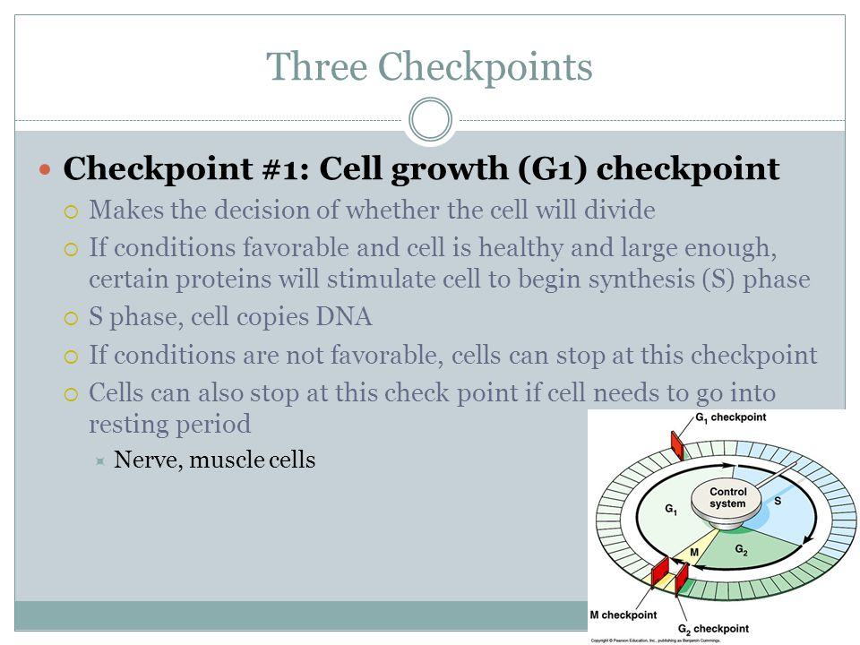 Three Checkpoints Checkpoint #1: Cell growth (G1) checkpoint
