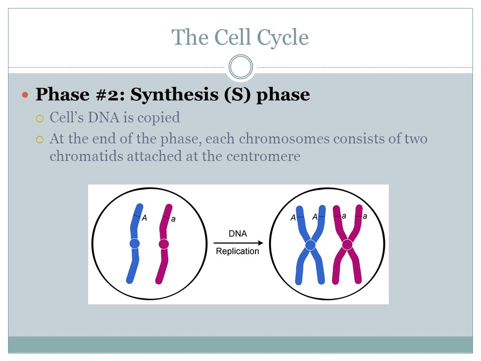 The Cell Cycle Phase #2: Synthesis (S) phase Cell's DNA is copied